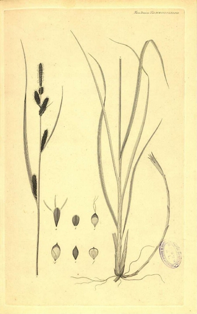 Carex stans (drej.)