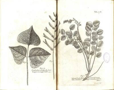 Arbori Coral affinis non spinosa fraxini