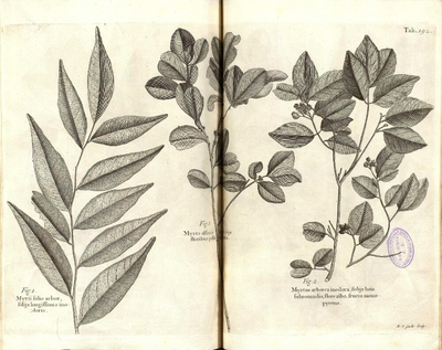 Myrtus arborea inodora