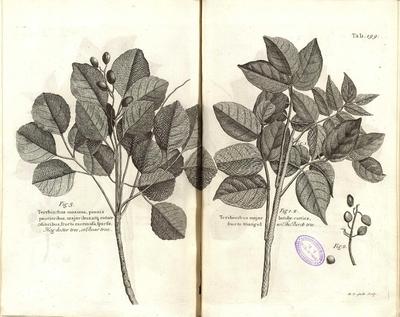 The birch tree