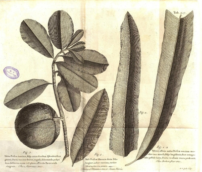 The Anchove pear tree