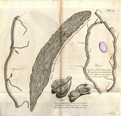 Cereo affinis scandens planta aphylla