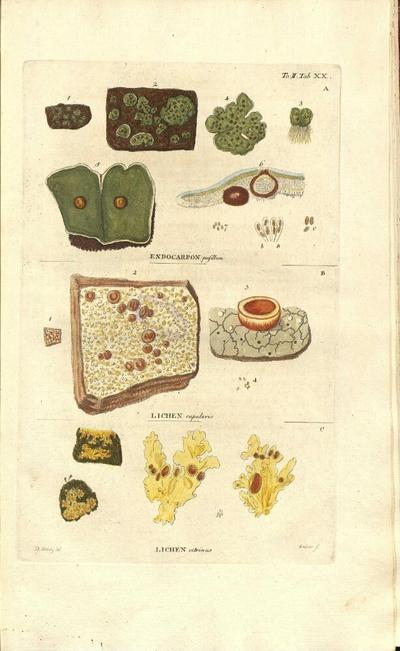 Lichen citrinus, plantule bryis immersae