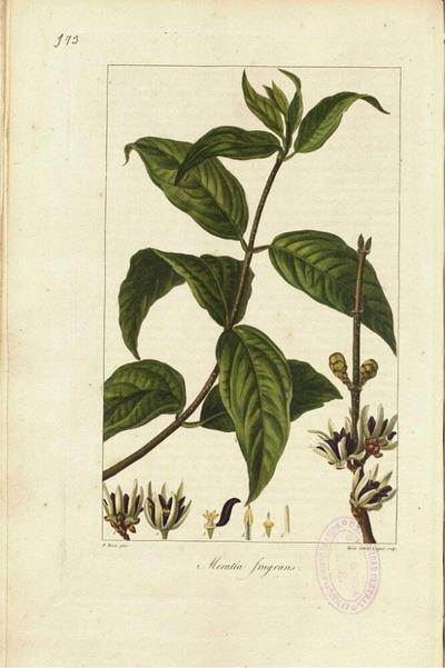 Meratia fragrans