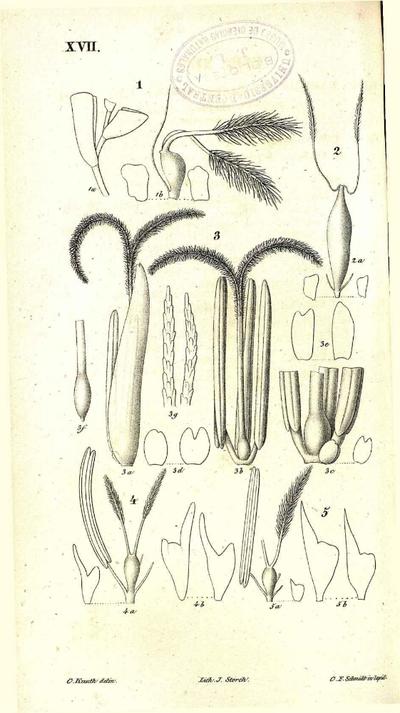 Eutriana juncifolia