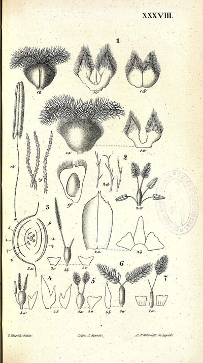 Eriochrysis cayanensis
