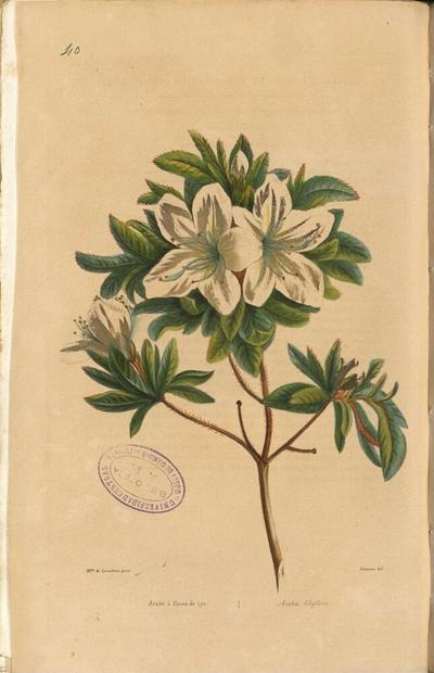 Azalea liliiflora
