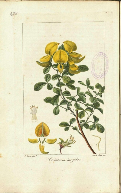 Crotalaria turgida