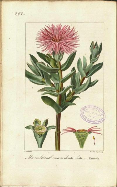 Mesembrianthemum denticulatum