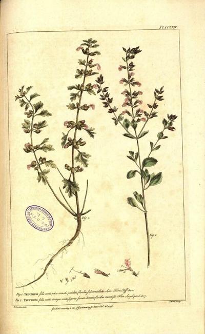 Teucrium foliis ovatis retrinque acutis