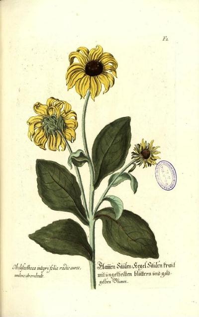 Obeliscotheca integrifolia, radio aureo