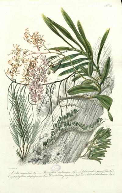 Dendrobium heteroidcum