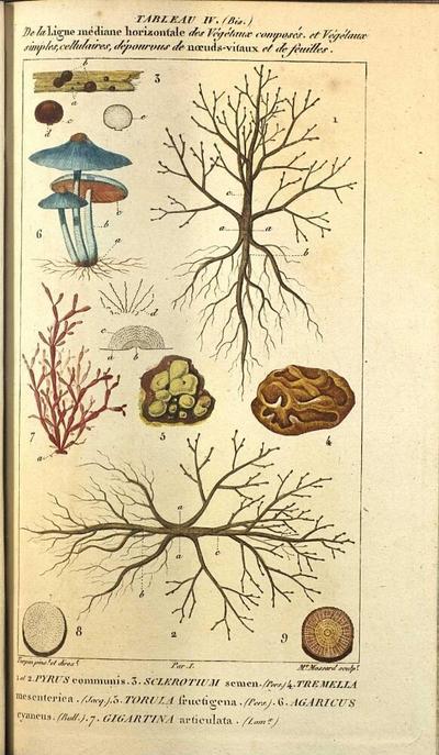 Gigartina articulata