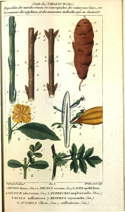 Jussieua villosa. (Lam.). suffruticosa. (Lin.)