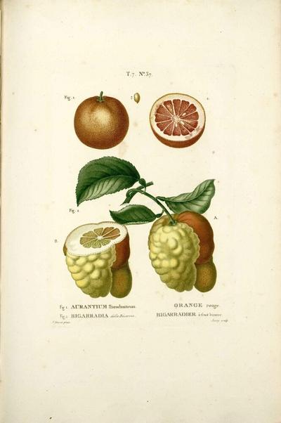 Bigarradier à fruit bizarre