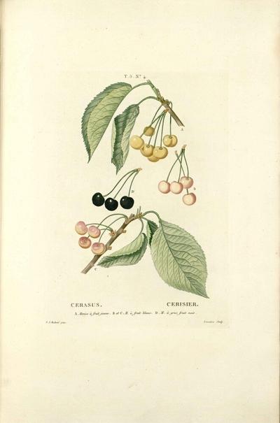cerisier a gros fruit noir