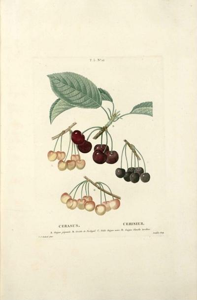 Cerisier guigne blanche tardive