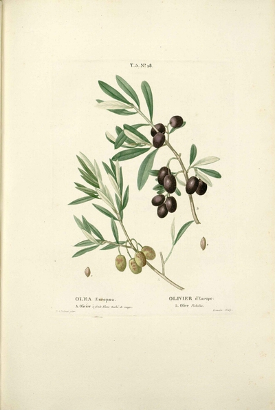 Olive picholine