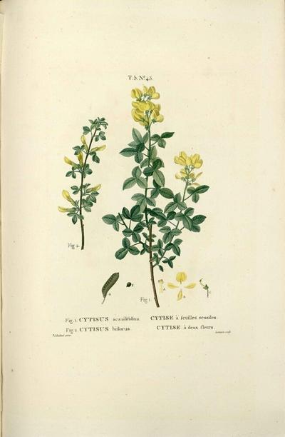 Cytise à deux fleurs