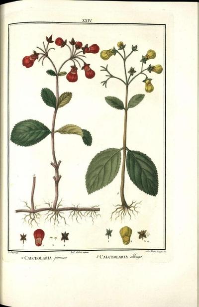 Calceolaria oblonga