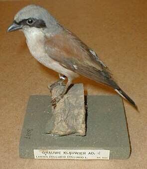 Een opgezet volwassen mannelijk exemplaar van een Lanius collurio Linnaeus, 1758 (Grauwe klauwier) staand op een stuk schors bevestigd op een vierkante basis.
