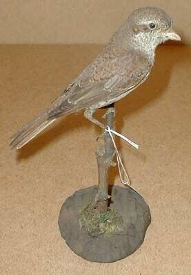 Een opgezet jong mannelijk exemplaar van Lanius collurio Linnaeus, 1758 (Grauwe klauwier) staand op een tak bevestigd op een ronde basis.