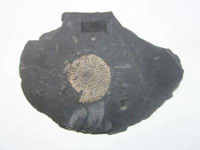 Plaat van zwarte leisteen, met aan weerszijden afdrukken van de Dactylioceras commune.