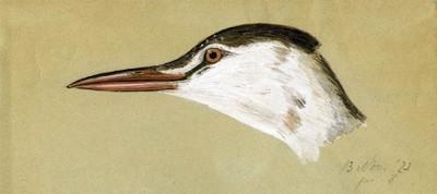 Een aquarel van de linkerkant van de kop van een volwassen mannelijke Podiceps cristatus Linnaeus, 1758 (Fuut). Onderaan: