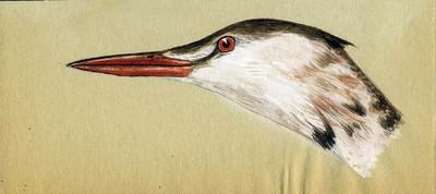 Een aquarel van de linkerkant van de kop van een Podiceps cristatus Linnaeus, 1758 (Fuut) in overgangskleed.