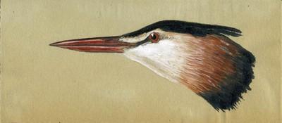 Een aquarel van de linkerkant van de kop van een Podiceps cristatus Linnaeus, 1758 (Fuut) in het voorjaar.