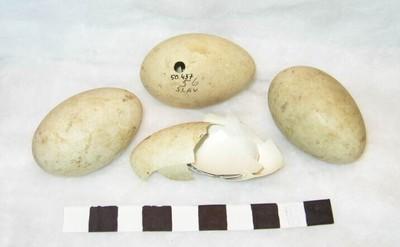 Vier eieren van Podiceps cristatus Linnaeus, 1758 (Fuut).
