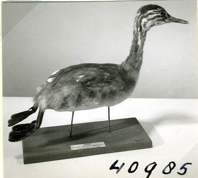 Een opgezet jong vrouwelijk exemplaar van Podiceps cristatus Linnaeus, 1758 (Fuut) in zwemmende houding.