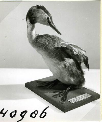 Een opgezet volwassen vrouwelijk exemplaar van Podiceps cristatus Linnaeus, 1758 (Fuut) in staande houding, pikkend in de linker vleugel.