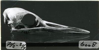Een schedel van een exemplaar van Podiceps cristatus Linnaeus, 1758 (Fuut).
