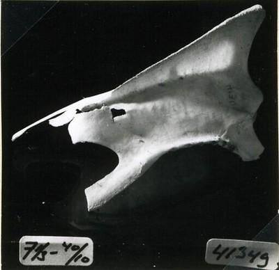 Een borstbeen van Podiceps cristatus Linnaeus, 1758 (Fuut).