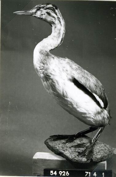Een opgezet jong exemplaar van Podiceps cristatus Linnaeus, 1758 (Fuut).