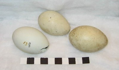 Eieren van Podiceps cristatus Linnaeus, 1758 (Fuut).