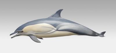 Gewone dolfijn Delphinus delphis Linnaeus, 1758 Museon nr 200560 De naam 'gewone' dolfijn zegt dat dit een algemene soort is. Ze leven in groepen van 10 tot 500 dieren, maar er zijn groepen van 2000 dieren in de oceaan gezien. Ons afgietsel is van een in 1985 op de visafslag in IJmuiden aangevoerd volwassen dier. Sinds 1860 zijn 76 strandingen op onze kust bekend. Common dolphin Delphinus delphis (Linnaeus, 1758) Museon no. 200560 The very name of this species suggests how frequent it is. Common dolphins live in schools or 'pods' of between 10 and 500 animals, but pods of 2000 have been observed in the ocean. Our cast is of an adult specimen landed at the fishing harbour of IJmuiden in 1985. Since 1860, 76 of them are known to have stranded on the Dutch coast.