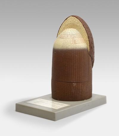 Een model van een sterk vergrote (300x) worteltop van een varen (Pteridophyta sp.). Het model is van kunststof en staat op een grijs, houten voetstuk.