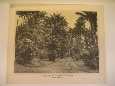 26. 's Lands plantentuin Buitenzorg (Palmen-afdeling)