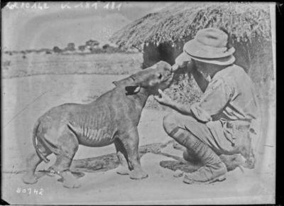 Un jeune rhinocéros de 2 mois buvant au biberon : [photographie de presse] / [Agence Rol]