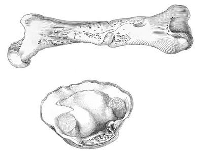 Femur of large adult cave bear; Moodie's Paleopathology