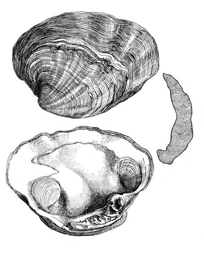 Miocene Normal and pathalogical clams, the so-called Venus Tridachnoides supposed to be the pathologic race of the previous species and is derived from the miocene deposits of York River Virginnia