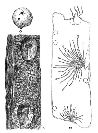 Gall from the Dakota sandstone resembling oak-leaf gal