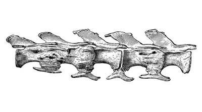 Caudal vertebra No. 17-21 of Diplodocus Longus