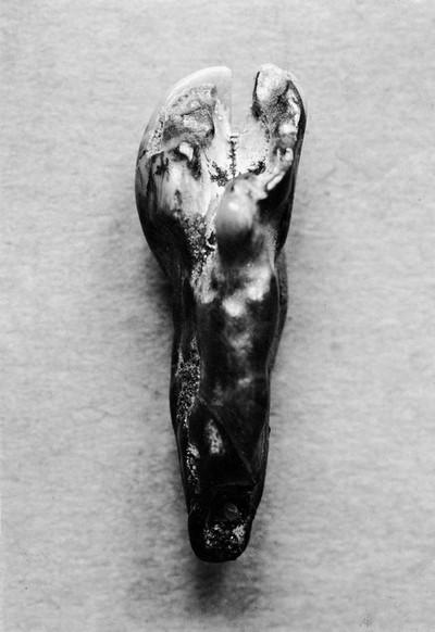 Incisor of camel from pliocene of snake creek beds, Nebraska