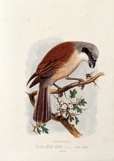 A red backed shrike (Lanius collurio). Colour lithograph, ca. 1875.