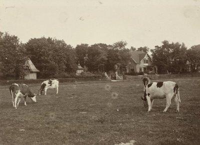 Grazende koeien op het weiland in villapark Duin en Daal / het Halve Maantje.