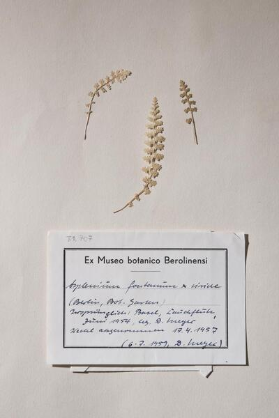 Asplenium fontanum (L.) Bernh. x A. viride Huds.