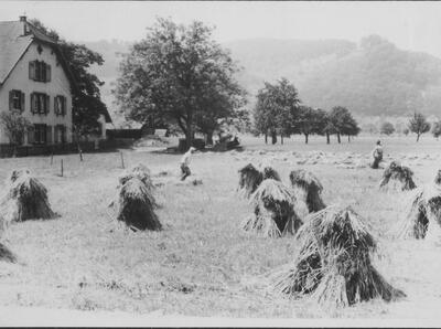 Getreidepuppen in der Lachmatt